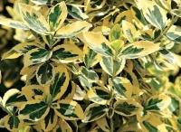 Бересклет вечнозелёный Голд