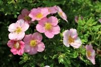 Лапчатка кустарниковая розовая «Принцесс» Potentilla fruticose Princess