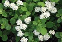 """Спирея """"Березолистная"""" (Spiraea """"Betulifolia"""")"""
