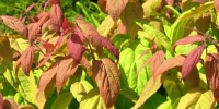 """Спирея японская """"Макрофилла"""" (Spiraea japonica """"Macrophylla"""")"""