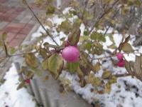 Снежноягодник аметист