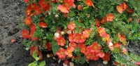 """Лапчатка кустарниковая """"Танжерин"""", оранжевая  (Potentilla fruticosa 'Tangerine')"""
