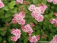 """Спирея японская """"Литл Принцесс"""" (Spiraea japonica """"Little Princess"""")"""