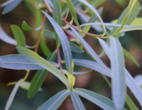 "Ива ""Пурпурная"" (Salix ""Purpurea"")"