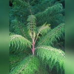 Сумах гладкий «Лациниата»