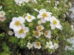 Лапчатка кустарниковая «Абботсвуд»  (Potentilla fruticosa 'Abbotswood') белая