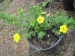 Лапчатка кустарниковая «Голдстар»  («Золотая звезда»)  (Potentilla fruticosa 'Goldstar') желтая