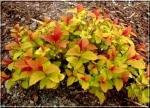 "Cпирея японская ""Голдфлейм"" (Spiraea japonica ""Goldflame"")"