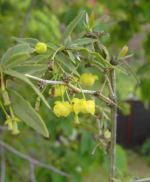 Барбарис (BERBERIS gagnepainii var. lanceifolia AHRENDT)