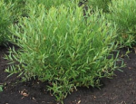 "Ива Ледебура Пендула ""Снежный шар"" (Salix ledebouriana f.kuraica)"