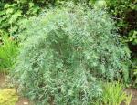 "Ива пурпурная ""Пендула"" (Salix purpurea ""Pendula"")"