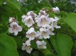 Катальпа бигнониевидная (Catalpa bignonioides)