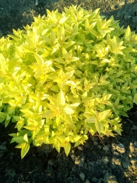 """Спирея японская """"Голден Принцесс"""" (Spiraea japonica """"Colden Princess"""")"""